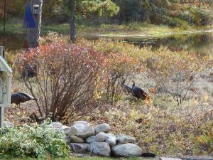 Turkeys in the Bog
